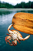 Red Rock Crab holds onto Paddle, , Burnaby Narrow, Gwaii Haanas National Park, British Columbia, Canada