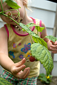 Little Girl Picking Raspberries, Toronto, Ontario