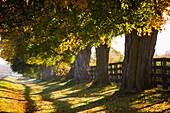Line of maple trees along rural road in morning light, Bradford, Ontario