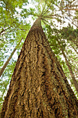 Tall fir tree, Capilano Pacific Park, North Vancouver, British Columbia