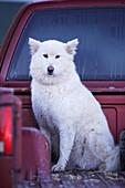 Large White Dog in Pick-Up Truck, Southwestern Saskatchewan