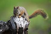 Red Squirrel on Tree Stump, Banff National Park, Alberta