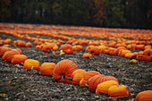 Field of pumpkins, Simcoe, Ontario