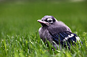 Young Blue Jay in grass, Ontario