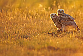 Immature Great horned owls backlit in a grass field, Saskatchewan