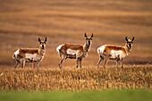 Pronghorn antelope in a cultivated farmers field, Saskatchewan