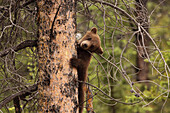 Grizzly bear cub up a tree, Yukon