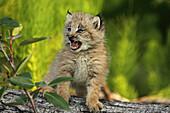 Canadian Lynx Kitten, Alaska