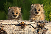 Canadian Lynx Kittens looking over a log, Alaska