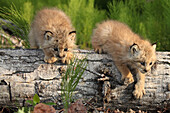 Canadian Lynx Kittens climbing on a log, Alaska