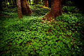 Plants on a forest floor, Pacific Rim National Park, Vancouver Island, British Columbia