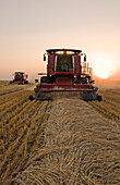 Two combine harvesters work a field of swathed spring wheat, near Dugald, Manitoba