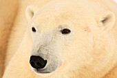 Close up of a polar bear, Churchill, Manitoba