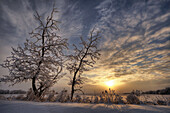 Snow covered trees silhouetted by sunrise on the Alberta prairies