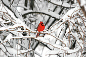 Male Cardinal in Winter, Burlington, Ontario