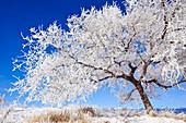 Hoar frost covering tree on clear winter morning, Winnipeg, Manitoba