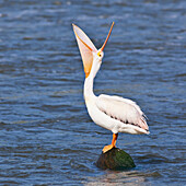 American White Pelican with mouth wide open, Red River, Lockport, Manitoba