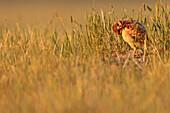 Digitally enhanced image with painterly effect of Burrowing owl chick, Grasslands National Park, Saskatchewan
