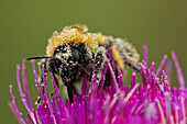 Bumblebee covered in pollen as it gets pollen from Canadian thistle, Grasslands National Park, Saskatchewan