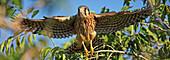 Digitally enhanced image, painterly effect of kestrel taking flight, Saskatchewan