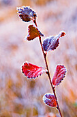 Close-up of Dwarf birch in autumn, Jasper National Park, Alberta