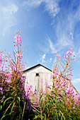 Old Barn and Fireweed, Sainte-Francoise, Bas-Saint-Laurent Region, Quebec