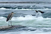 Great blue heron hunting in a river, Coteau-du-Lac, Quebec, Canada