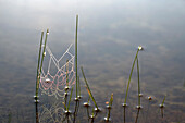 Spider web on pond, Ontario, Canada