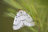Close-up of gypsy moth, Deer Island, Georgian Bay, Ontario, Canada