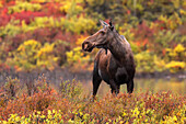 Adult female moose in the autumn, Dempster Highway, Yukon