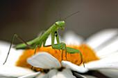 Close up of a Praying Mantis on daisy, Ontario