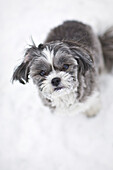 A Maltese and Shih-Tzu dog outside on a winter day, Winnipeg, Manitoba