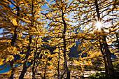 Artist's Choice: Sun through Larch trees, Lake McArthur, Yoho National Park, British Columbia