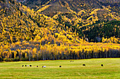 Horses, caribou and fall colours, Northern British Columbia