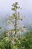 Conifer and fog Northern British Columbia