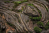 Close up of a knot on a fallen douglas fir tree, Cathedral Grove, British Columbia