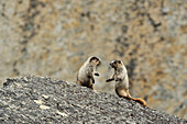 Hoary Marmots in the Cirque of Unclimables, Nahanni National Park, Northwest Territories