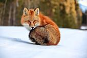 Red fox in snow, Yukon