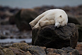 Bear laying on rock, Manitoba, Canada