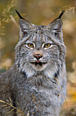 Tk0568, Thomas Kitchin, Lynx. Autumn. Rocky Mountains. North America. Felis Lynx Canadensis.