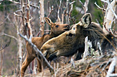 Newborn moose calf standing close to his mother in gaspesie national park, quebec canada