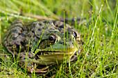 Green Frog, Vaudreuil Quebec Canada