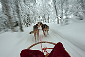 Husky Sled Tour At The Polar Speed Husky Farm, Levi, Lapland, Finland