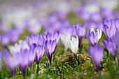 White and purple crocuses in blossom, Heuberg, Chiemgau range, Upper Bavaria, Bavaria, Germany