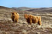 Two Scottish highland cattle, Scottish highland cattle, Highland, Scotland, Great Britain, United Kingdom