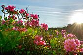 Sun shining on alpine roses in blossom, Alpine rose, Rhododendron ferrugineum, Feldalpenhorn, Feldalphorn, Kitzbuehel range, Tyrol, Austria