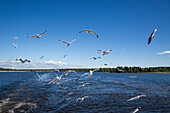 Seagulls behind river cruise ship MS General Lavrinenkov (Orthodox Cruise Company), Lake Onega, Russia, Europe