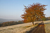 Farm track between pastures covered with frost, Autumn coloured cherry tree in the foreground, forest and hills in the background, Central Hesse, Germany