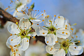 Blosomming whitethorn, genus Crataegus, with many small flowers in full blossom, blurred with partial sharpness, macro close up, Hesse, Germany