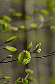 Young beech leaves on delicate branches in a beech forest, Central Hesse, Hesse, Germany